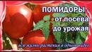 Как вырастить помидоры В одном видео всё, от посева до урожая.