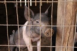 В год крысы подложили себе свинью