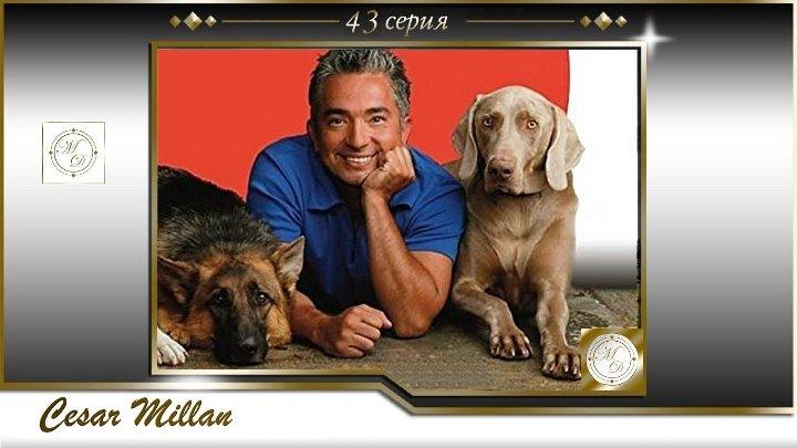 43 серия Сезар Миллан Переводчик с собачьего Четверо овчарок