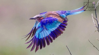 Interesting facts about lilac breasted roller by weird square