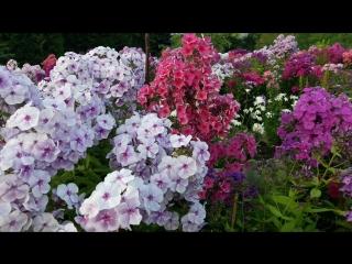 флоксы в моём саду 27 июля 2018 г.