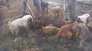 ОГРОМНЫЕ КРЫСЫ И СОБАКИ!! Собаки ловят больших крыс! Ratting with terriers 18