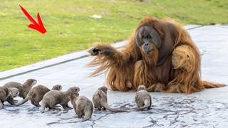 Орангутаны умирали от ОДИНОЧЕСТВА, тогда к ним подселили этих БАНДИТОВ! Вот, что дальше ПРОИЗОШЛО!