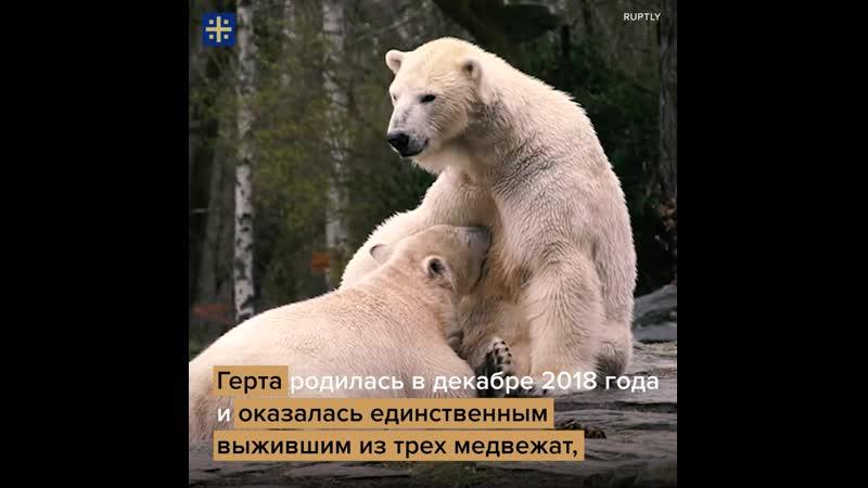 Белый медвежонок Герта в Берлинском зоопарке пьет молоко матери