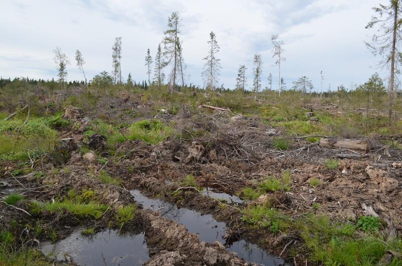 Вырубки ПАО «Онегалес» на Онежском полуострове
