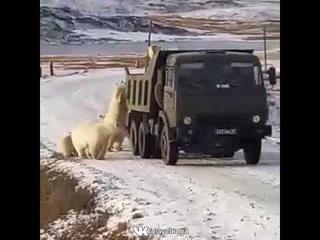белые медведи ищут съестное в кузове мусоровоза