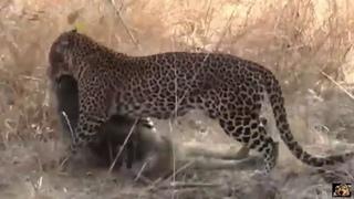 Леопард убивает раненного или старого бабуина.