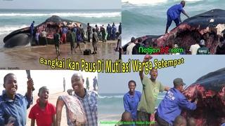 Bangkai Ikan Paus Terdampar, Di Mutilasi Warga Lokal (Beached Whale)