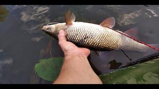 Язь полтора кило или вечерняя рыбалка спиннингом на небольшой речке