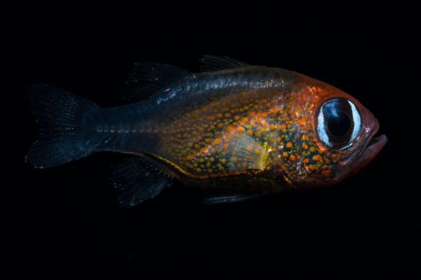 Недавно обнаруженный вид рыб Siphamia arnazae - Кардинал кошачий глаз, является совершенно новым видом лучеперых рыб из Папуа-Новой Гвинеи