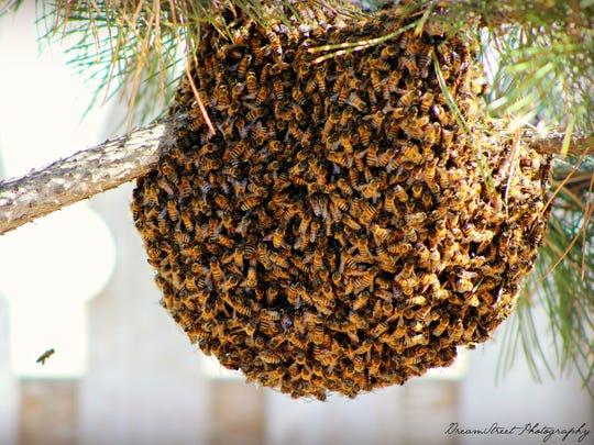 Пчелы-убийцы. Бразилия (позже вся территория Америки от Бразилии до США), 1957 год наше время. До середины 1950-х годов бразильские пчеловоды ходили грустными. Им приходилось работать с