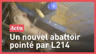 L214 : Les images choquantes de l'abattoir Intermarché de Briec (29)