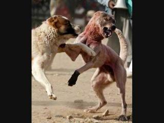 The Biggest Dog of the World (Turkish Kangal Dog)