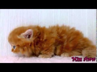 Fluffy Orange Kitten With Blue Eyes   Too Cute!