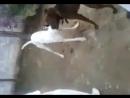 Собачьи бои гуль терьер vs питбуль терьер (1 бой гулли)