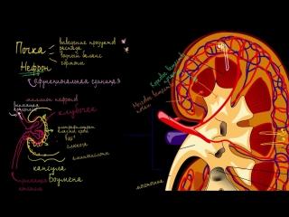 Строение почки и нефрона