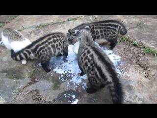 African Civet Cats Feeding Frenzy
