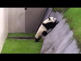 Панда пьяного товарища