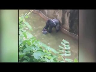 Самец гориллы таскал проникшего к нему 3-х-летнего мальчика 10 минут, пока не застрелили. Зоопарк в США, Цинциннати