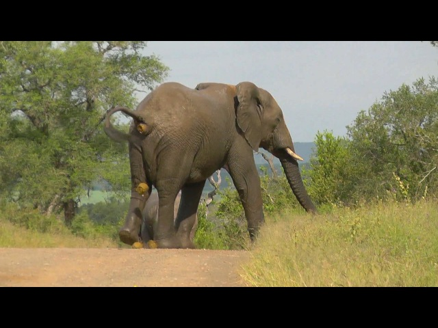 SOUTH AFRICA elephant's relief pipi and caca Kruger nat park hd video