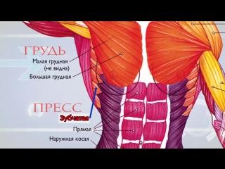 Анатомия ( Экскурс по основным мышцам человека ) ...