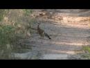 Прыткая ящерица и удод. Sand lizard and hoopoe дикий мир и поведение животных в нем