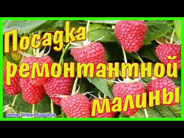 Как посадить ремонтантный сорт малины Брянское диво ремонтантный сорт