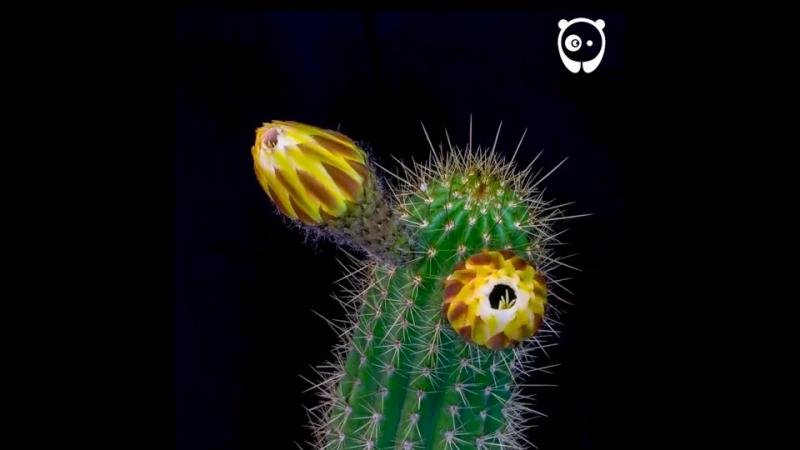 Життя Цвітіння кактусів