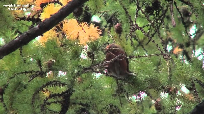 Loxia curvirostra Red Crossbill клёст еловик Moscow