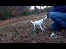 Jam Up Bulldogs' Osmium aka Oz at 11 weeks old
