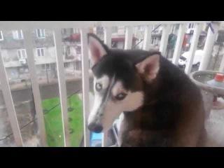 Собака хаски обиделась, что ее не пускают в дом, Грузия,