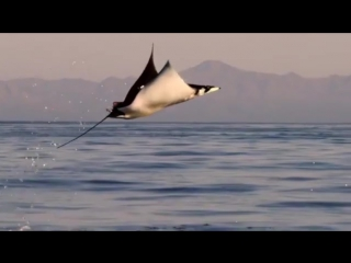 Рождены для полета. Летающие скаты. Удивительная природа - рыбы которые летают