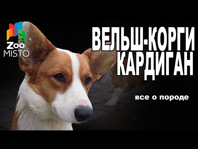 Вельш Корги Кардиган Все о породе собаки Собака породы Вельш Корги Кардиган
