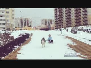 Ездовой маламут на Суворовском -   - Это Ростов-на-Дону!