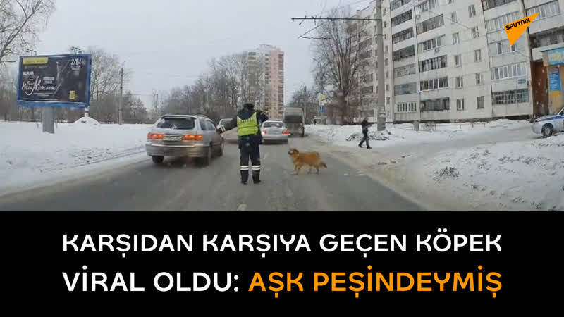 Yolun karşısına geçebilmesi için polisin trafiği durdurduğu köpek aşk peşindeymiş