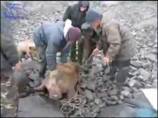 """Медвежий патруль"" спасает морженка! Чукотка, с. Рыркайпий"