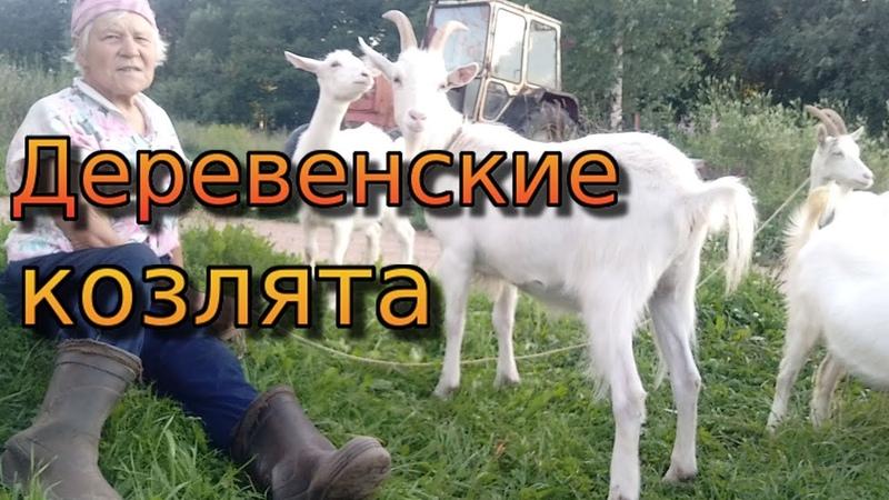 Деревенский дневник. Козлята Маша, Даша, Кнопка и Кеша.