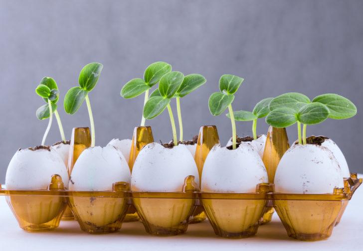 Выращивание рассады в пустых яйцах