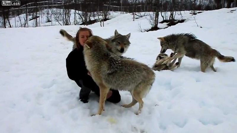 Şi lupii ştiu să iubească