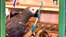 Что будет если попугай останется один без внимания🐦Петруня атакует😱