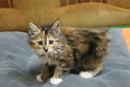 Питомник предлагает котят курильских бобтейлов, есть мальчики и девочки, Котятам почти 3 месяца, куш