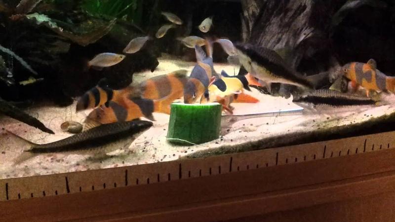 Botia Fish