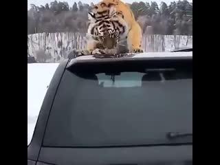 Тигр в душе тоже котик