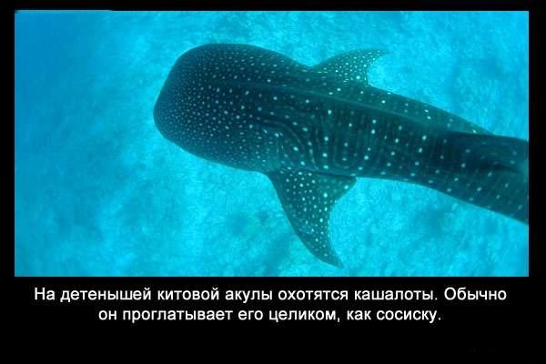 Valteya - Интересные факты о акулах / Хищники морей.(Видео. Фото) - Страница 2 RtgSE8hSW3Q