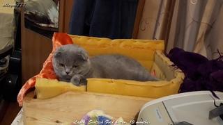 Лапик. Шотландский вислоухий котёнок. 10 месяцев.