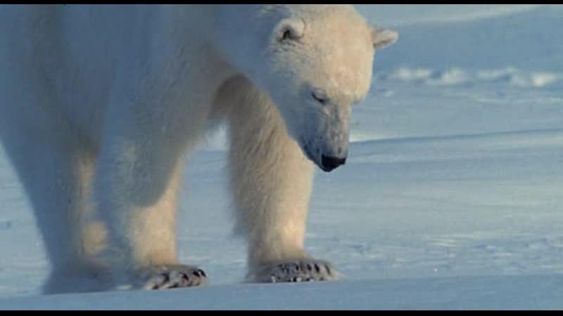 BBC Ребятам о зверятах Белый медведь