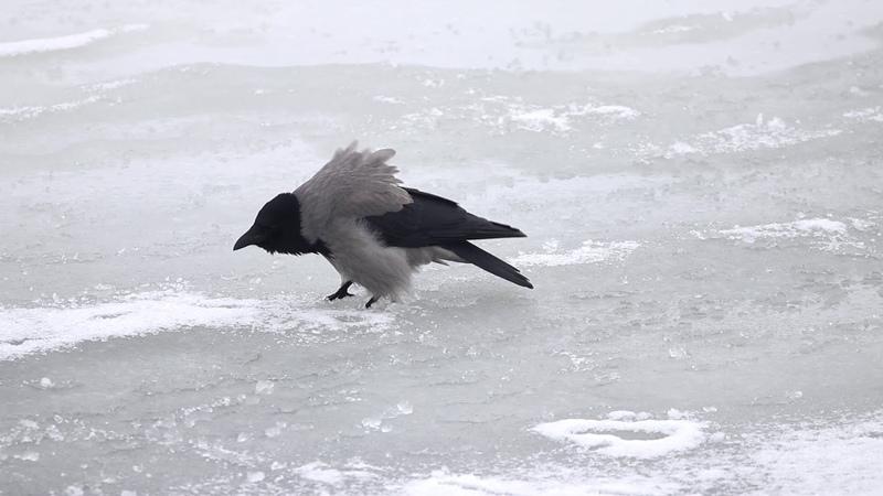 Вы видели как каркает серая ворона Corvus cornix Птицы Беларуси