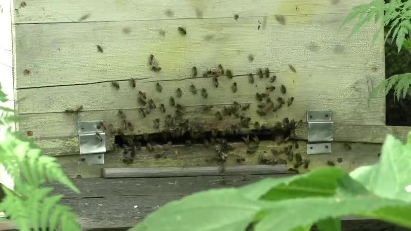 Облет молодых пчел