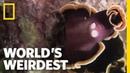 Flatworm Penis Fencing World s Weirdest