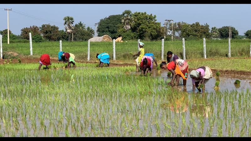 Rice Farming Complete Guide from Seeds to Harvest Tamil Nadu India